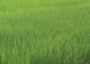 京丹後市は、米づくりには最適な環境です。